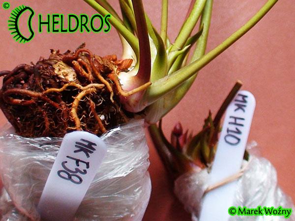 Sarracenia Seed Flava Red Tube Wavy Lid I Salter x Adrian Slack